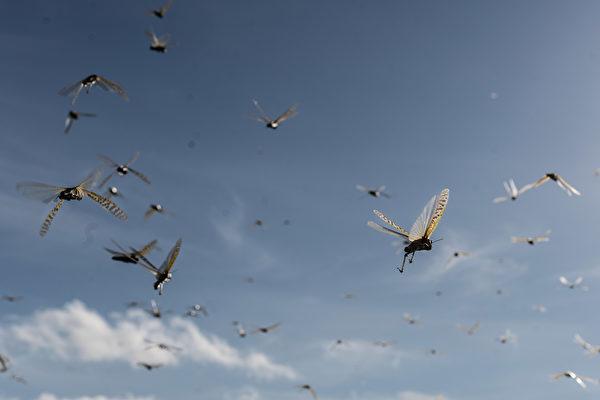 2020年5月21日,肯尼亞桑布魯郡,蝗蟲在空中飛行。(Fredrik Lerneryd/Getty Images)