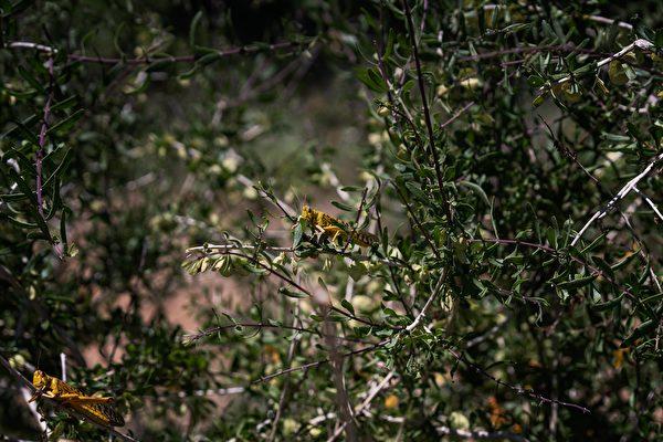 2020年5月22日,肯尼亞桑布魯郡,蝗蟲正在啃食灌木叢。(Fredrik Lerneryd/Getty Images)