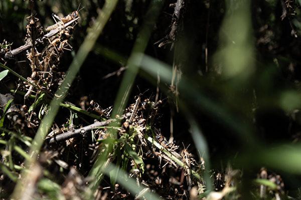 2020年5月22日,肯尼亞桑布魯郡,蝗蟲聚集在樹上。(Fredrik Lerneryd/Getty Images)