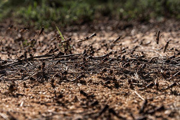 2020年5月22日,肯尼亞桑布魯郡,蝗蟲聚集在地面上。(Fredrik Lerneryd/Getty Images)