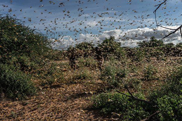 2020年5月21日,肯尼亞桑布魯郡,兩位男子正在驅趕一群沙漠蝗蟲。(Fredrik Lerneryd/Getty Images)