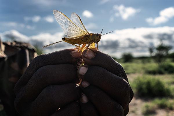 2020年5月21日,肯尼亞桑布魯郡,一位居民把沙漠蝗蟲拿在手上。(Fredrik Lerneryd/Getty Images)