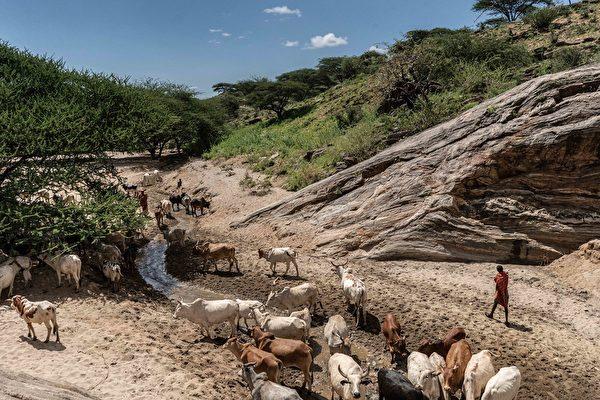 2020年5月22日,肯尼亞桑布魯郡,在河川地附近放牛。牧民擔心蝗蟲會破壞牧場。(Fredrik Lerneryd/Getty Images)