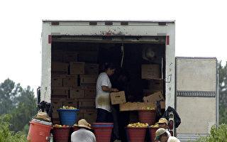 喬州蔬菜種植過剩  價格下跌農民發愁