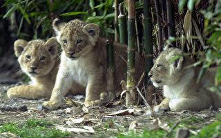 紐國疫情漸趨穩定 奧克蘭動物園重新開放