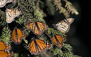 5亿只蝴蝶飞舞 蜂鸟大小的空拍机记录美景
