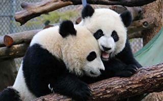 【中共病毒】動物園竹子缺乏大熊貓將提前回中國