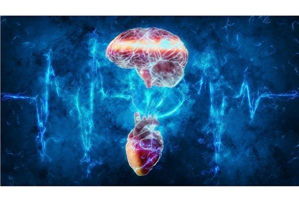 新研究揭示心脏如何影响大脑认知力