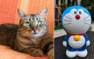 猫咪凶悍相没人认领 因病切耳 变超萌哆啦A梦