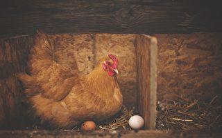 印度養雞場的母雞下蛋 蛋黃竟是綠色的