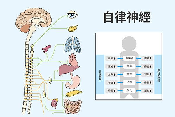 什麼是自律神經?(大紀元製圖)