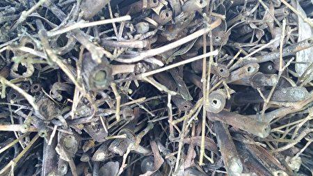 竹子空心的莖,也是獨居蜂選擇居住的場所。