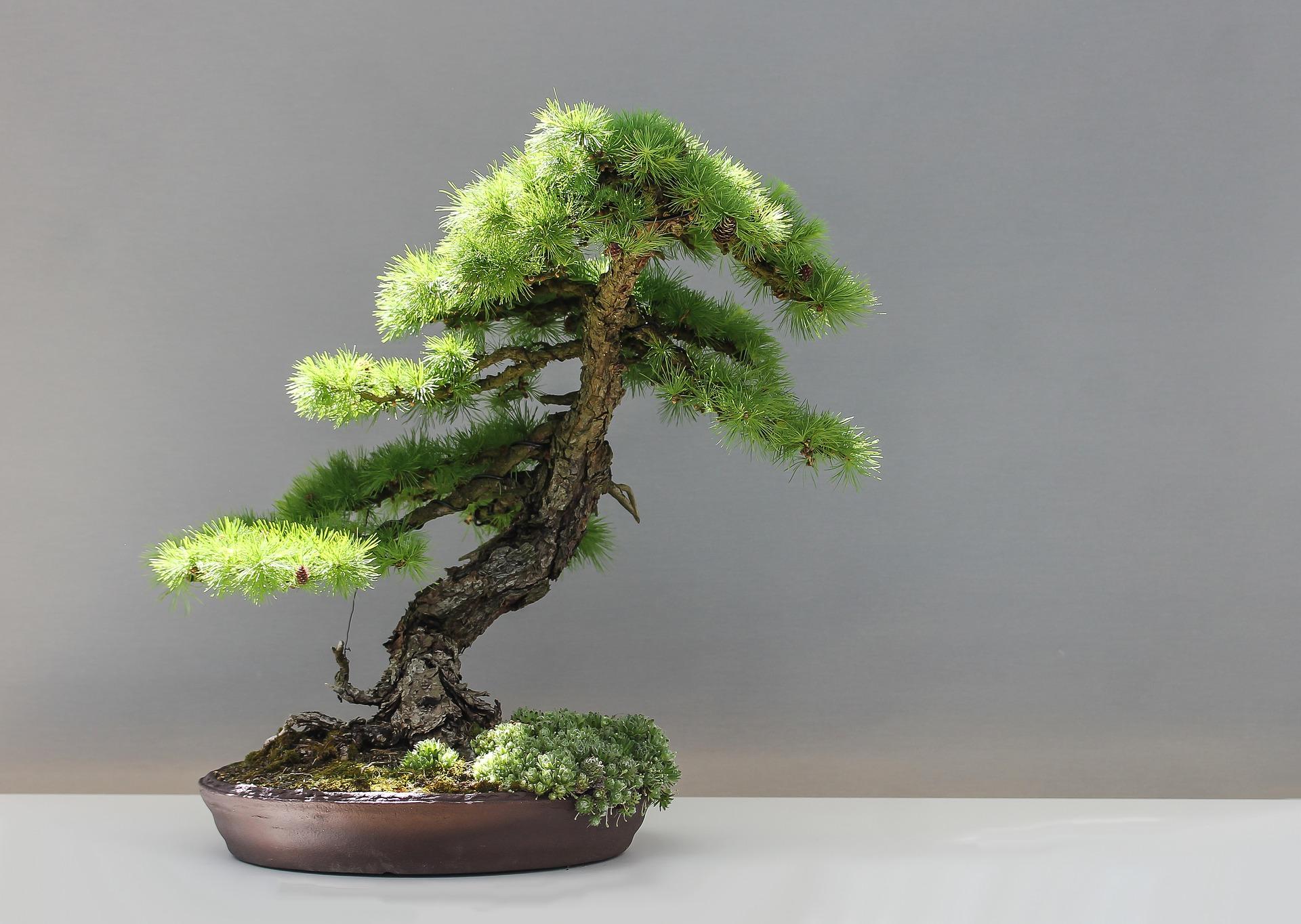 為甚麼日本盆栽價格高昂 動輒數十萬美元?