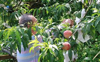 品嘗脆甜滋味 五峰鄉「五月桃」多元銷售