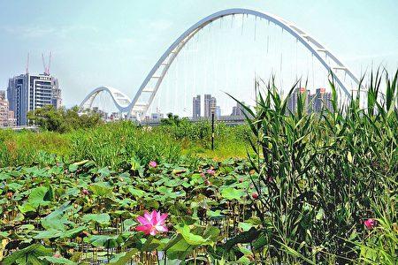 新月桥板桥端的人工湿地荷花即将盛开