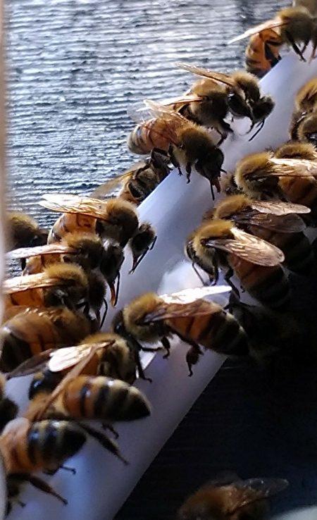炎熱的天氣,蜜蜂也需要採集水分。
