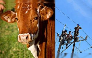 公牛大難不死 險被11,000伏特電擊