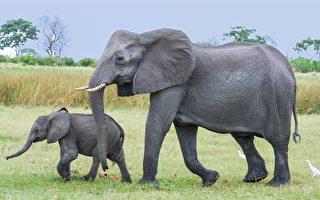 大象妈妈生宝宝 象群围过来祝贺