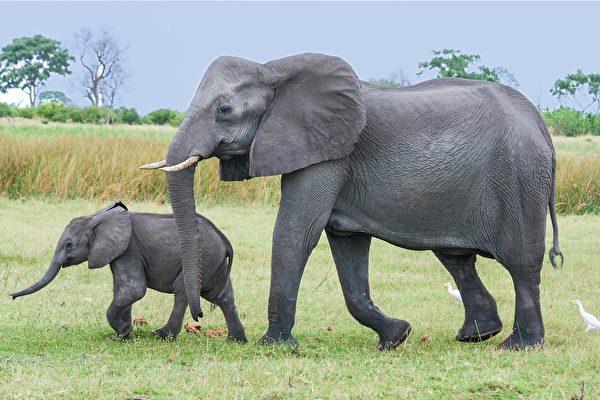 大象媽媽生寶寶 象群圍過來祝賀
