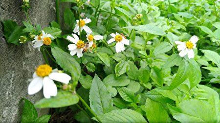 都市中,有大花咸豐草之處,就可以看見蜂兒採蜜。