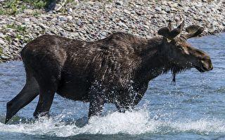 俄羅斯棕熊追捕駝鹿 追到大海裡