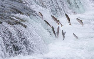 新研究解开鲑鱼感知地磁场之谜