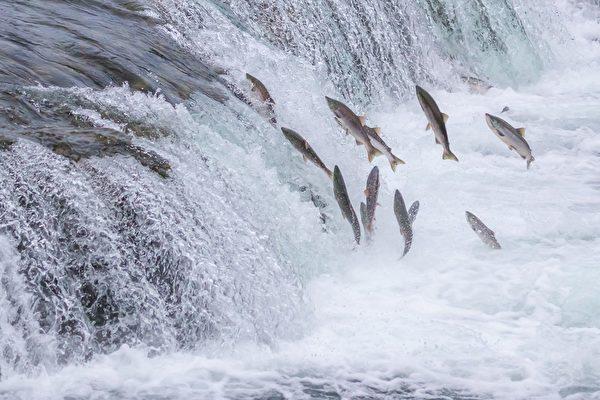新研究解開鮭魚感知地磁場之謎