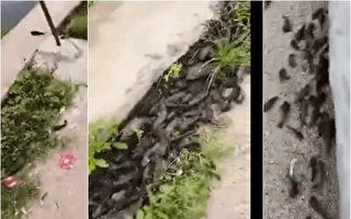 广东千条鱼跳上岸 村民担心将有地震