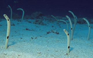 鳗鱼因忘了人类而胆怯 日本水族馆请你帮忙