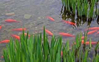 小鎮擔心:家養金魚放生或成災