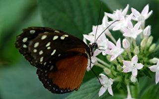 这种蝴蝶的蛹像黄金般闪亮 你见过吗?