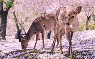 日本奈良鹿赏樱花 美丽景致在网上爆红