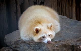 万分之一! 多伦多发现罕见白化病浣熊