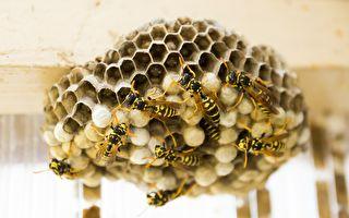避免黄蜂在家里筑巢的奇招 不用化学制品