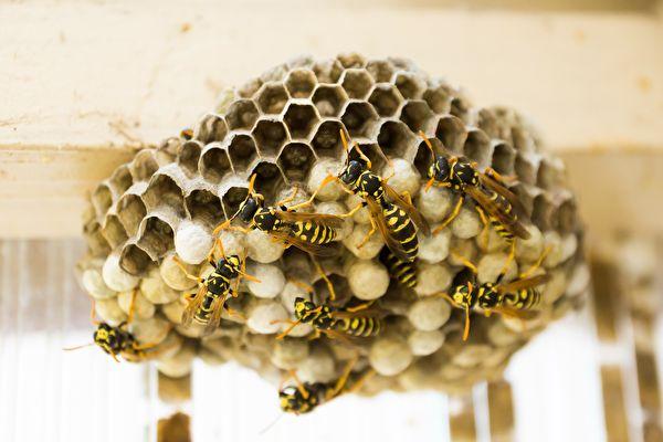 避免黃蜂在家裡築巢的奇招 不用化學製品