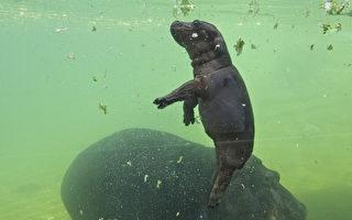 组图:法国动物园的河马宝宝 人们爱极了