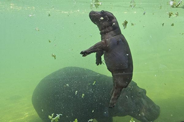 組圖:法國動物園的河馬寶寶 人們愛極了