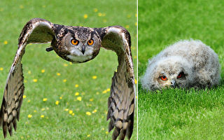 世界最大猫头鹰来他家筑巢 鸟宝们还迷上看电视