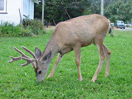 Waterton Lakes National Park,deer