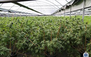 警方查獲最大大麻種植溫室市值近2200萬