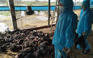 彰化雞場染禽流感 撲殺近萬隻土雞