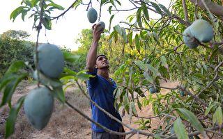 外劳难入境 采摘缺人手 澳洲蔬果或烂地里