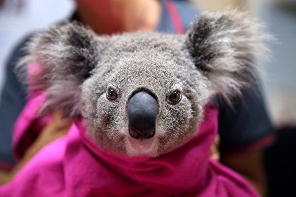 澳洲考拉Koala