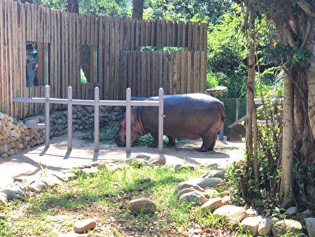 副總統賴清德拜訪新竹市立動物園,河馬樂樂上岸迎接貴賓。