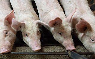 廣東湛江發生豬口蹄疫疫情 引網民擔憂