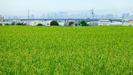 雾峰香米有机耕作,已闻名全台。