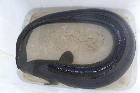 即將被放流到生態復育箱網中的22斤半臺灣原生大鱸鰻。