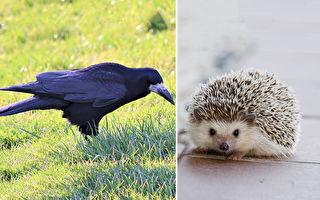 危險!刺猬慢吞吞 烏鴉帶牠過馬路 網:想吃牠?