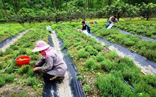宜蘭澳花社區香草野蜂產業順利啟航