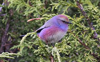小不點兒「白眉山雀鶯」歌聲美妙、羽毛像彩虹